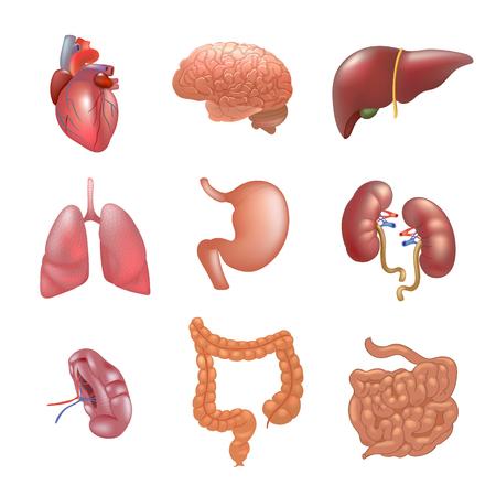Realistische menschliche Organe setzen Anatomie Vektorgrafik