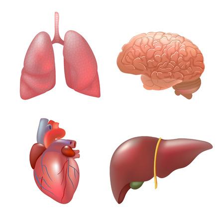 human liver: Realistic human organs set anatomy