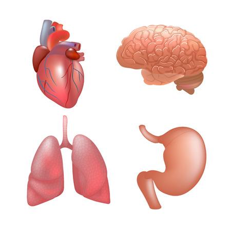 Los órganos Humanos Realistas Establecen La Anatomía Ilustraciones ...