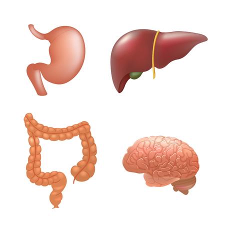 colon: Realistic human organs set anatomy