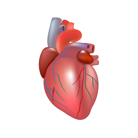 Realistic human organ isolated on white background. Human anatomy part heart. Vector illustration