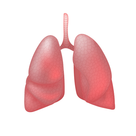 Realistic human lungs isolated on white background.