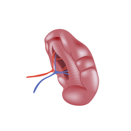 Realistic human spleen isolated on white background. Illustration