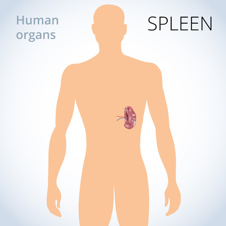 A vector illustration of the location of the spleen in the body, the human digestive system. Vector illustration Illustration