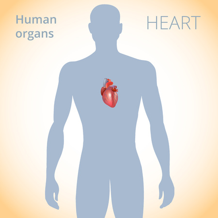 신체의 심장 위치, 인간 순환계