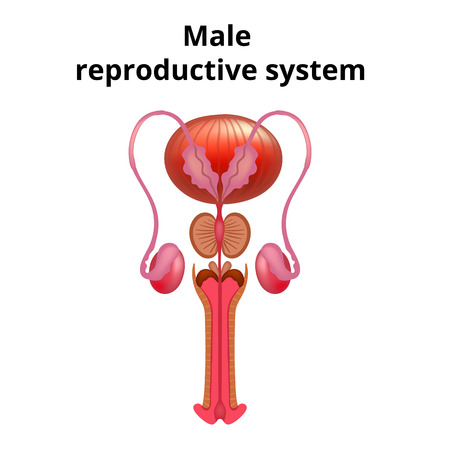 Vector illustration of Male reproductive system anatomy. 向量圖像