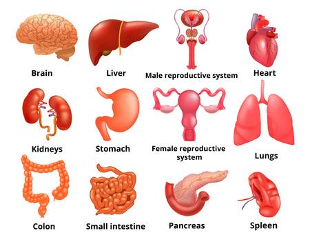 Internal organs icon set Illustration