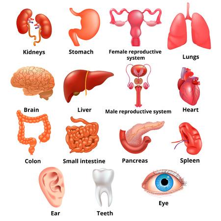 Internal organs icon set Vectores
