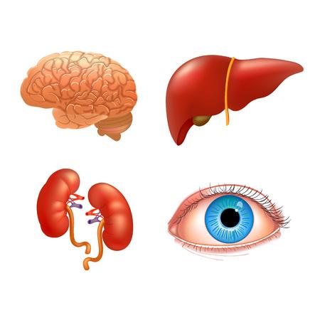 Vector internal organs icon set. Human reproductive system. Realistic vector illustration.