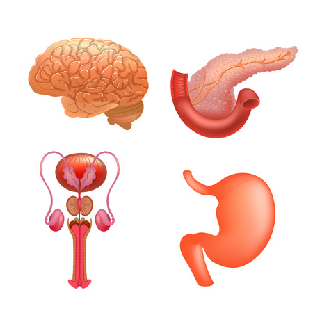 Vector internal organs icon set. Human reproductive system. Realistic vector illustration.