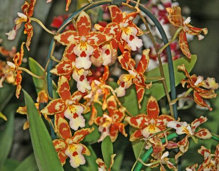 Many flowers in the garden greenery. Small, miniature, blooming orchids. Orange, brown, white. Seasonal flowering. Collection. Imagens