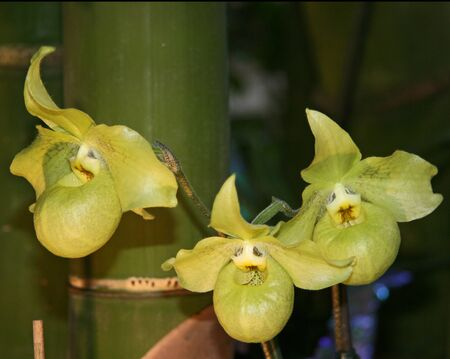 Large, soft but yellow flowers on a background of bamboo. Blooming lemon-colored Orchid. Beautiful form. Collection of flowers.