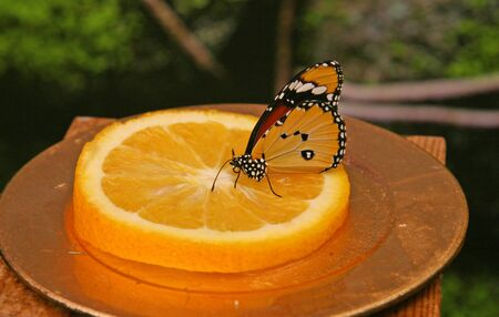 Butterfly with a pattern on the wings of orange, black, white, brown colors. A butterfly sits on a slice of orange. The butterfly eats sweet nectar