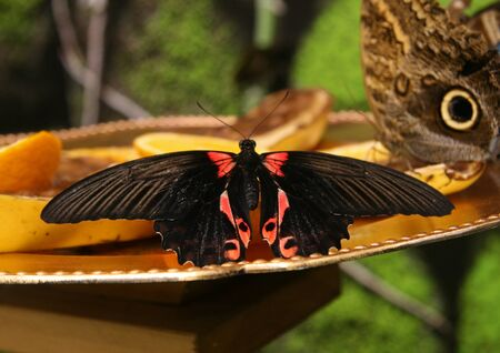 A large butterfly with black wings and a red pattern. A butterfly sits on a slice of orange. The butterfly eats sweet nectar.