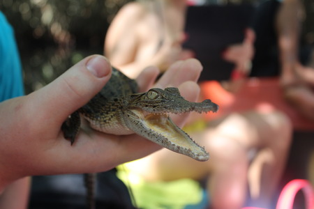arisen: Crocodile cub in a hand