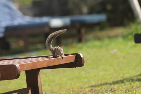 chaise lounge: Chipmunk on a chaise lounge having raised a tail up  Stock Photo