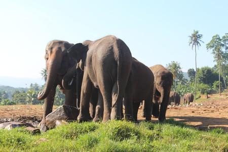 orphanage: Elephants orphanage in Pinnawela, Sri Lanka