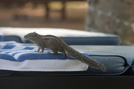 chaise lounge: Chipmunk on a towel on a chaise lounge  In search of food  Stock Photo
