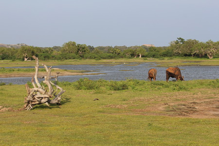 grazed: National park Yala  Animals are grazed ashore, a snag on the foreground