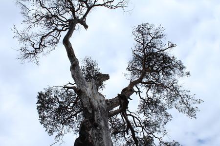 leningradskaya: Big unique tree