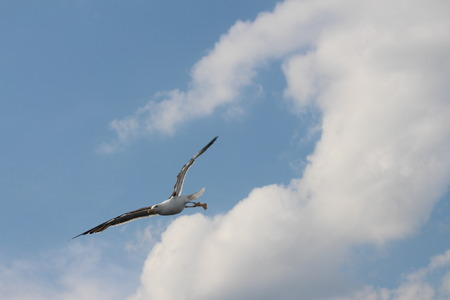 feathering: A seagull is flying down.