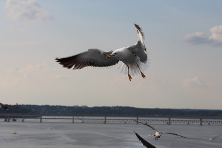 feathering: A seagull is flying on the Stockholm city. Sweden. Stock Photo