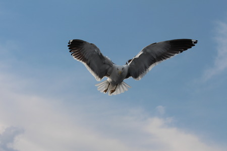chordates: A seagull is flying on the sky.