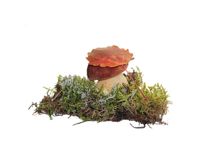 aspen leaf: A cep mushroom and a aspen leaf on the top of it, grown into the moss, isolated on white Stock Photo