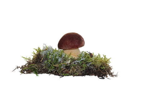 cep mushroom: A cep mushroom grown into the moss isolation on white Stock Photo