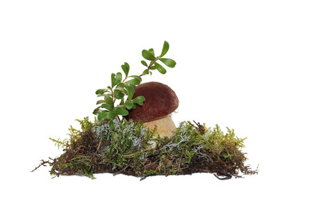 cep: A cep mushroom and twig cranberries grown into the moss, isolated on white