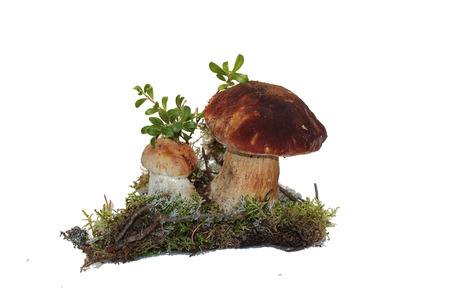 cep mushroom: Two cep mushroom and twig cranberries grown into the moss, isolated on white