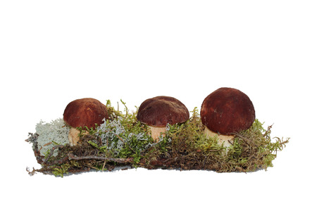 cep: Three cep mushroom grown into the moss, isolated on white Stock Photo