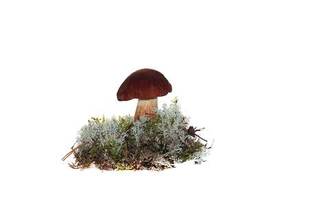 cep mushroom: A cep mushroom grown into the moss isolation on white Stock Photo