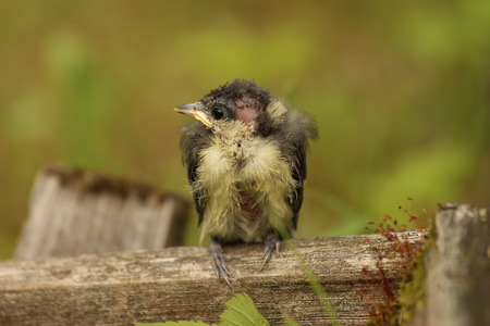 incertitude: A nestling bird profile. The Leningrad Region, Russia. Stock Photo