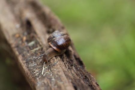 mollusca: A Helix pomatia. A snail. The Leningrad Region, Russia.