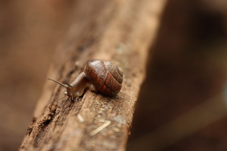 gastropoda: A Helix pomatia. A snail. The Leningrad Region, Russia.
