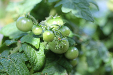 unripe: Unripe tomatoes Stock Photo