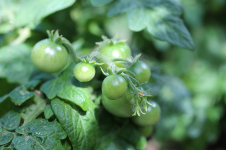 hotbed: Unripe tomatoes Stock Photo