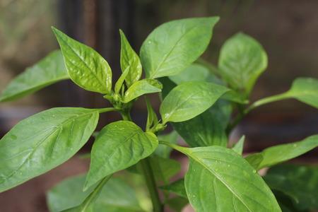 unripe: Unripe pepper Stock Photo
