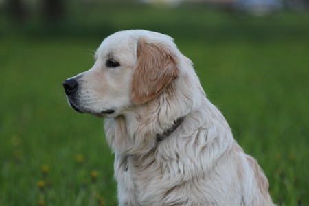 sideview: Sideview of Golden Retriever puppy.