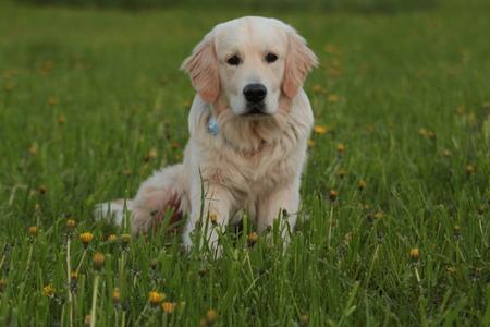 Golden Retriever puppy outdoor. Reklamní fotografie