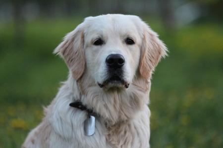 golden retriever puppy: Golden Retriever puppy outdoor. Look at the camera.