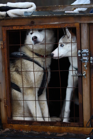 pawl: Two Siberian husky in a cage. Stock Photo