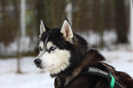 dutiful: A portrait of Siberian husky with differnet colour eyes.