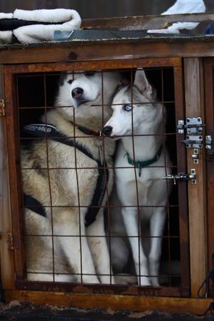 pawl: Due Siberian Husky in una gabbia. Archivio Fotografico
