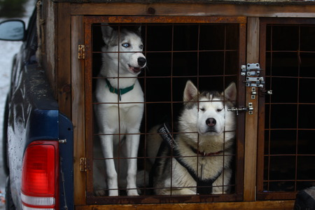 Two Siberian husky in a cage. Dogs transportation.