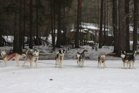 dutiful: A pack of huskies in harness. Winter.