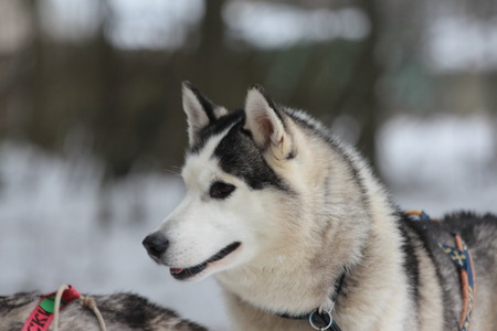 brown eyes: A brown eyes Siberian husky in harness. Stock Photo