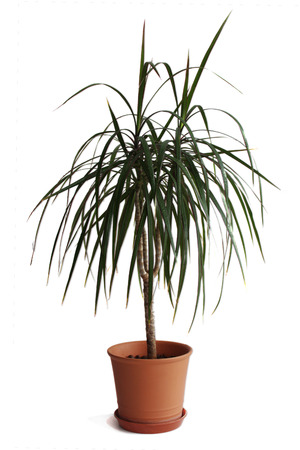 osolated: Dracaena plant in pot isolated on white background