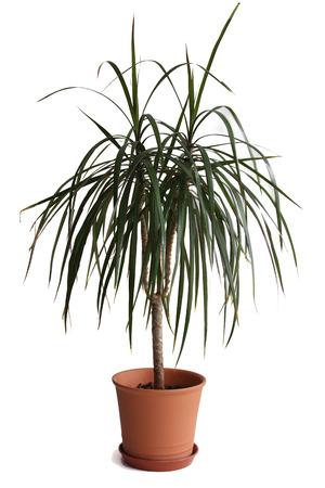 osolated: Dracaena plant in flower pot Stock Photo